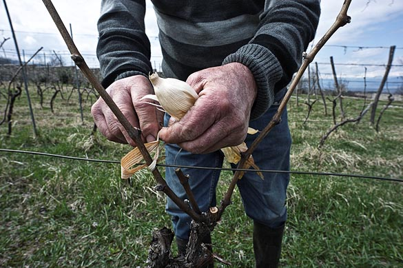 - Gruzija - Schuchmann's winery -7285