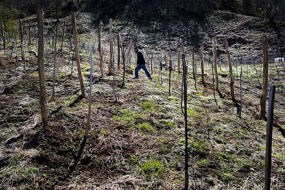 - Gruzija - Zurab Topuridze Winery - vinogradi -9605